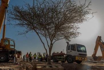 """صور.. """"هيئة تطوير المدينة"""" تنقل الأشجار المعمرة بعيداً عن مواقع المشاريع التنموية"""