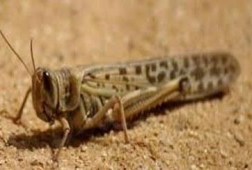 """""""البيئة"""" تتوقع استمرار نشاط الجراد الصحراوي بسبب الظروف البيئية"""
