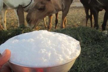"""""""البيئة"""" تُحذّر من شراء حليب الإبل غير المبستر لتسبّبه في الإصابة بالحمى المالطية"""