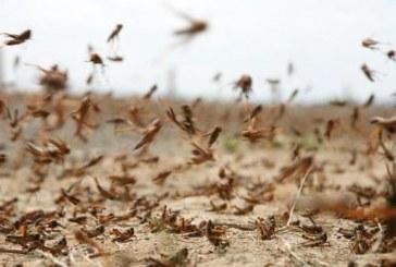 """""""البيئة"""": استقرار حالة الجراد الصحراوي ومعالجة 2600 هكتار في المنطقة الشرقية"""