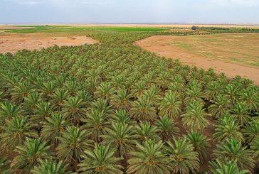 المزارعون بمنطقة تبوك يستعدون لجني محصول مايزيد عن مليون نخلة من التمور