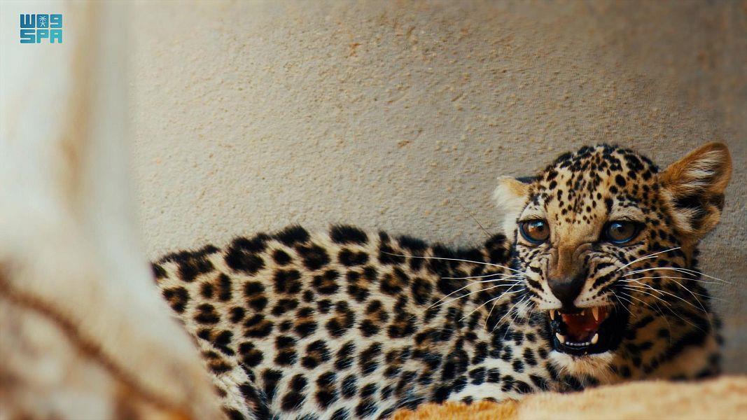 """""""العلا"""" تعلن ولادة أنثى جديدة للنمر العربي خطوة لحمايته من الانقراض"""